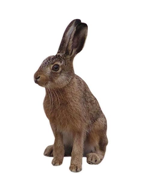 brun hare