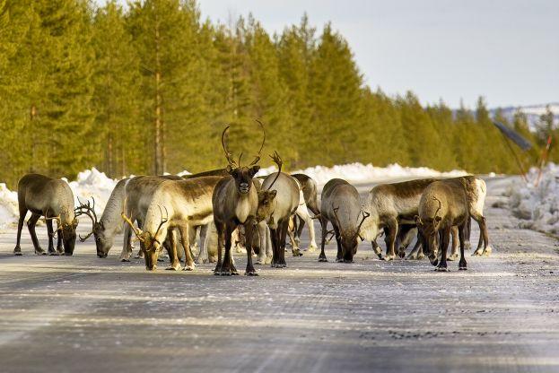 Renar på vägen. Foto Ulf B Jonsson