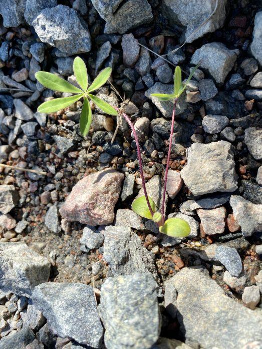 Groddplanta av blomsterlupin
