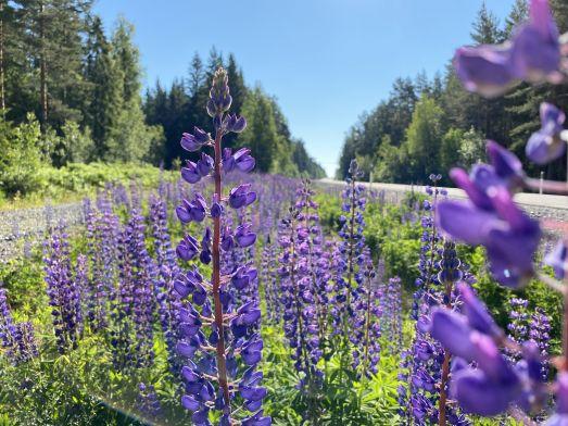 Blommande blomsterlupiner vid väg