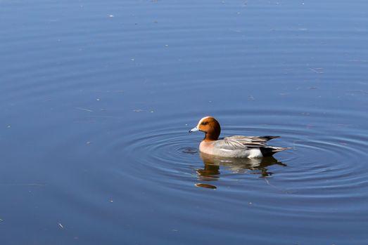 Bläsand simmande i Lomtjärnsparken. Foto: Erika Groth