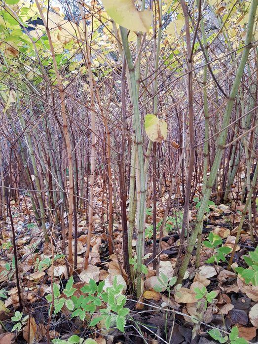 Parkslide på hösten. Kala stammar av parkslide.
