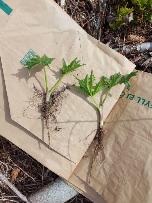 Uppgrävda småplantor av jätteloka liggande på papperspåsar.